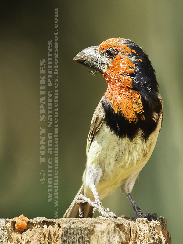Black-collared Barbet (Lybius torquatus), picture perched on s stup