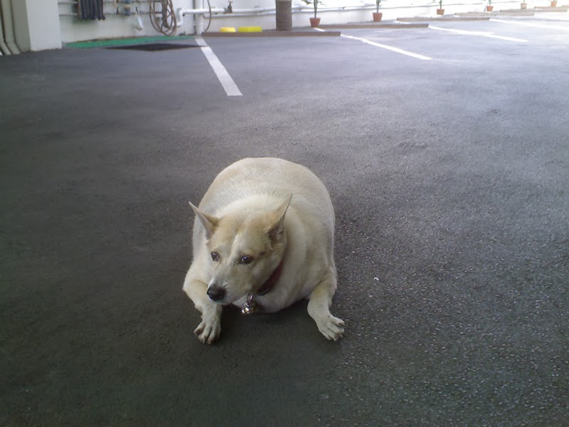 A fat dog laying down on a street in Bangkok