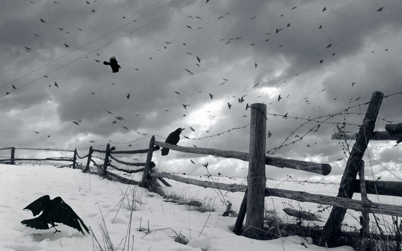 crow in snow wallpapers hd - photo #8