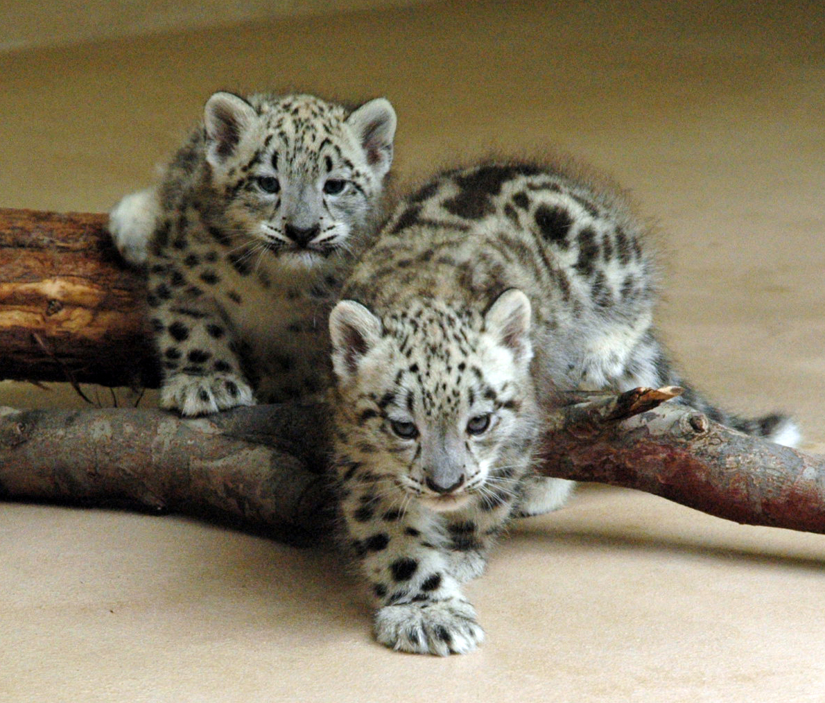 Cute baby snow leopard cubs - photo#2