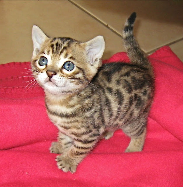 How much does a Bengal Kitten Cost?