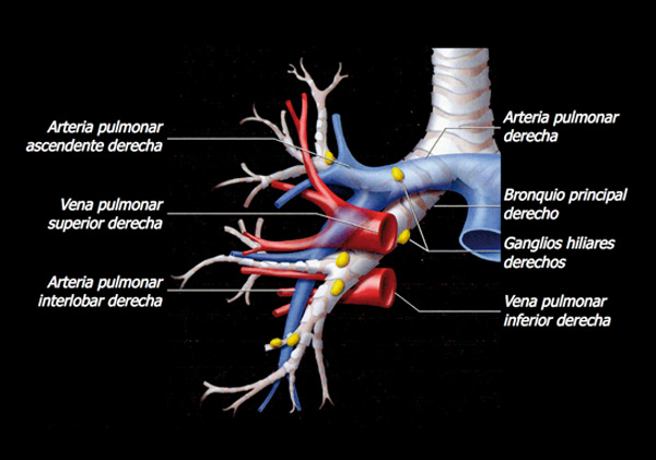 El esfenoides: Anatomía del hilio pulmonar derecho.
