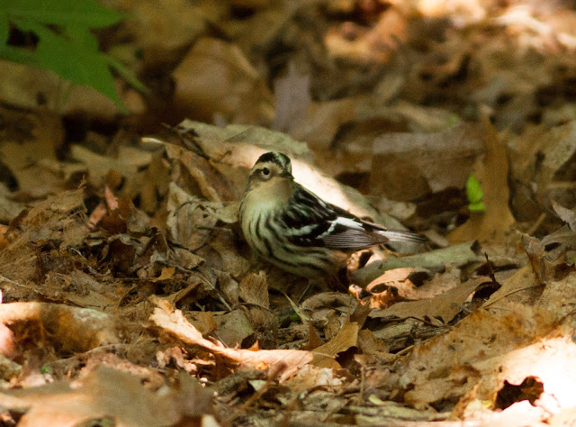 Black and White Warbler - Prospect Park, New York