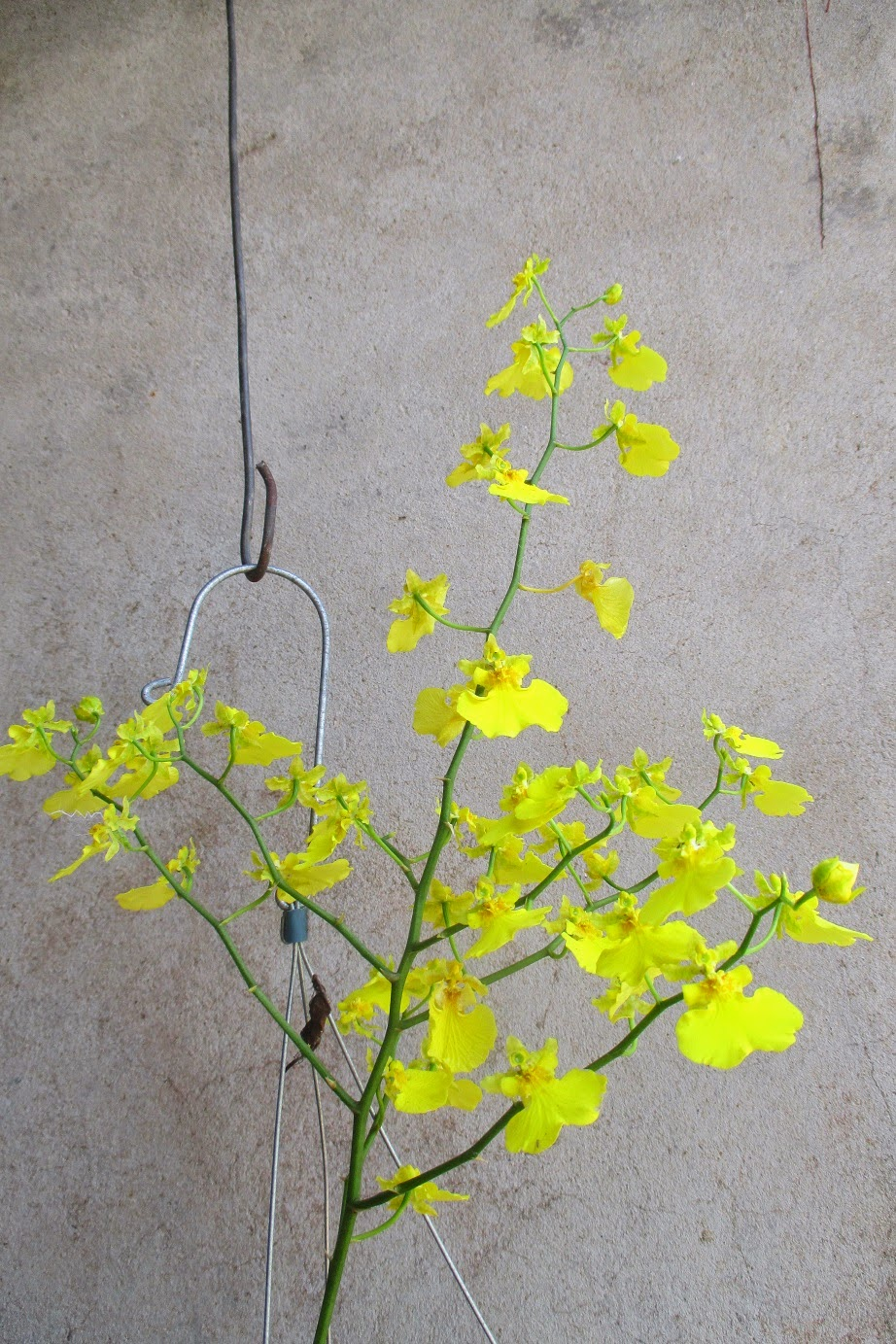 Một số bông hoa lan vũ nữ đã tàn, đây là lúc nên cắt chúng đi