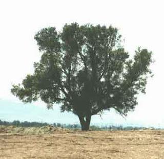 pokok gharqad,pokok yahudi, gharqad,