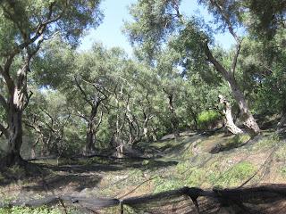oliivilehto