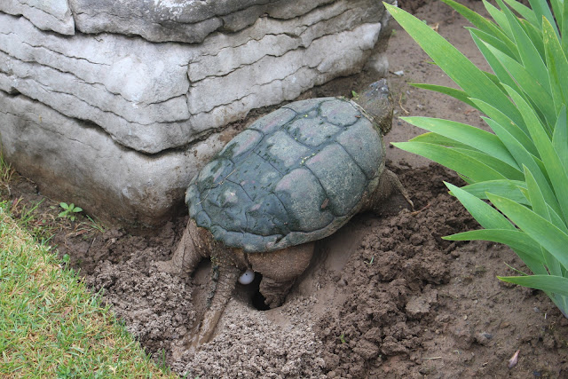 turtle laying eggs at the Laking Garden, RBG Canada