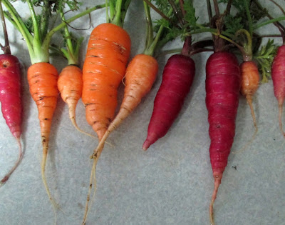 Carrots harvested in January from an Oregon garden