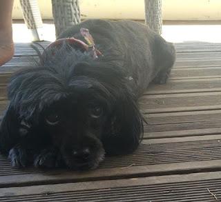 Χάθηκε στην Εγλυκάδα- Πατρα μικρόσωμος μαύρος σκυλάκος