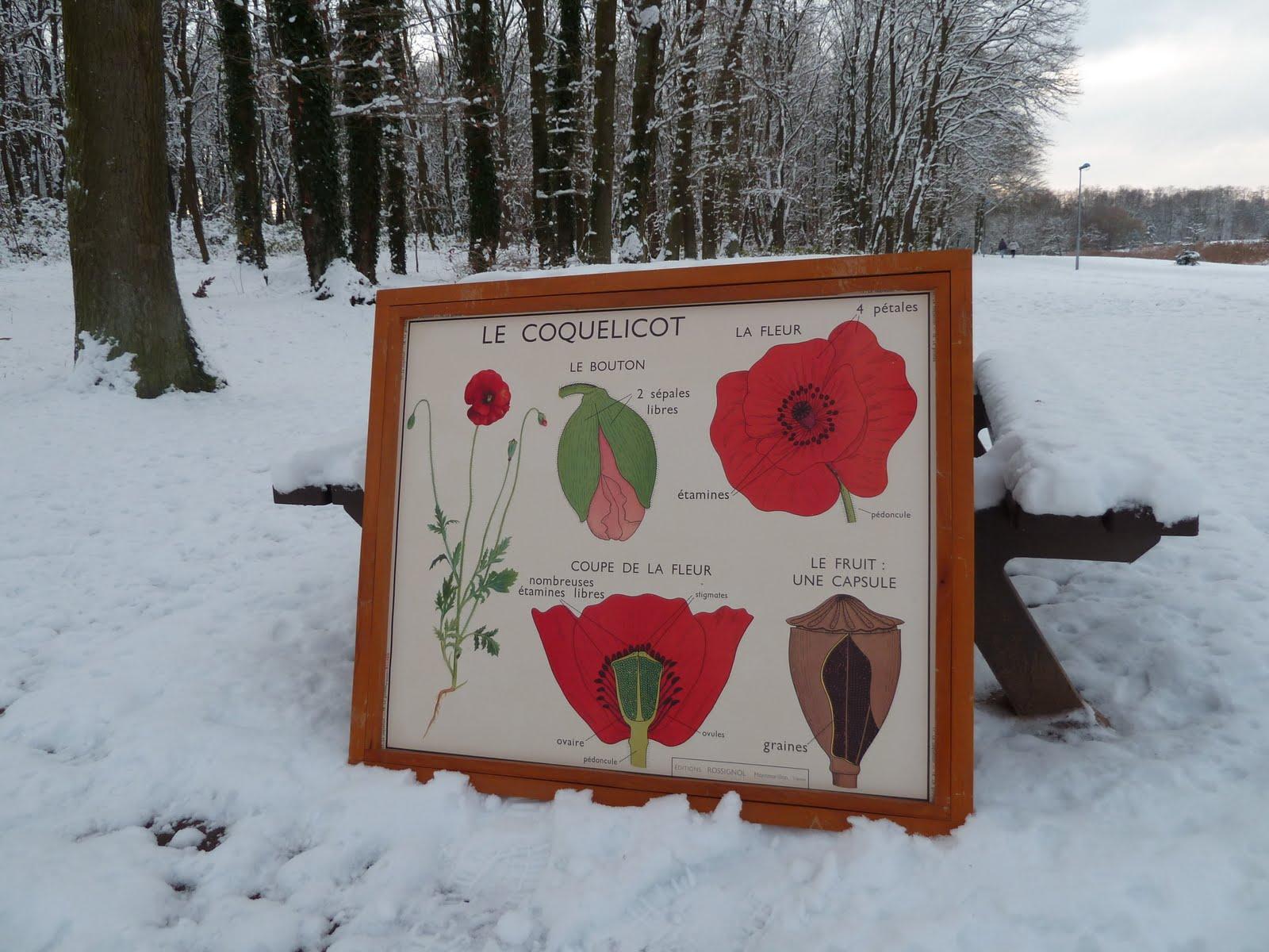 ecole fmr 1000 affiches scolaires le coquelicot ancienne affiche scolaire rossignol plante. Black Bedroom Furniture Sets. Home Design Ideas
