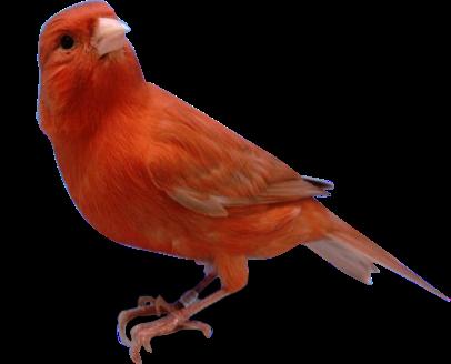 Bird WallpaperJenis Burung Kenari