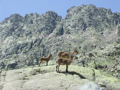 groupe de chèvres-Gredos