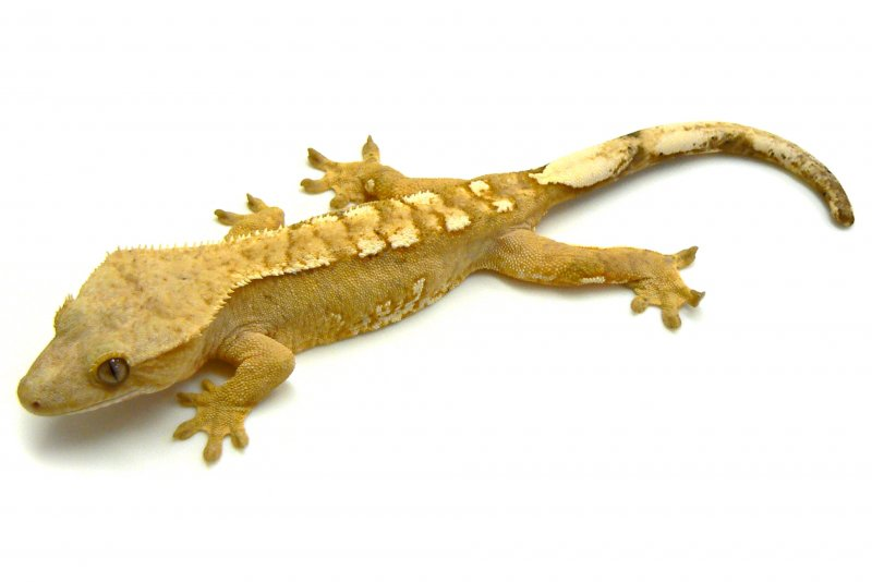 Pin Crested Gecko Care Sheet On Pinterest