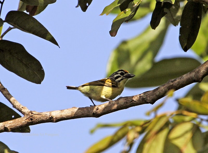 yellow-fronted tinkerbird in the Brufut Forest