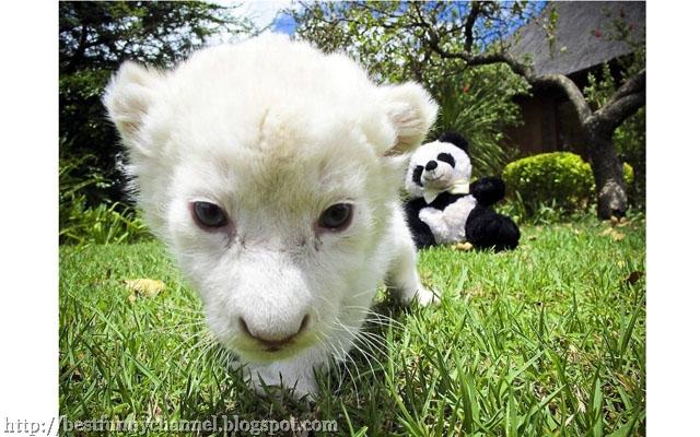 White Tiger Cub.