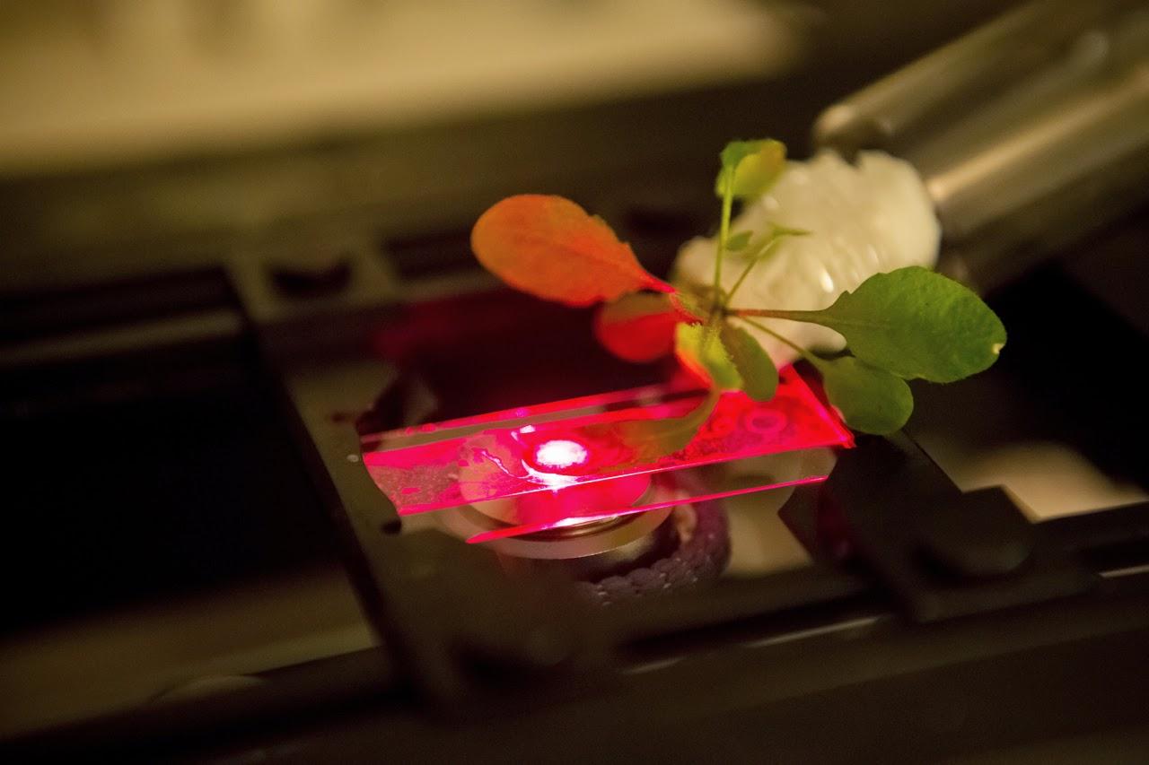 fluorescence carbon nanotubes inside Arabidopsis plant leaves