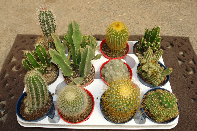Arte y jardiner a cactus el desierto en casa for Donde venden cactus