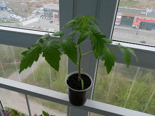 выращиваю рассаду помидоров 3