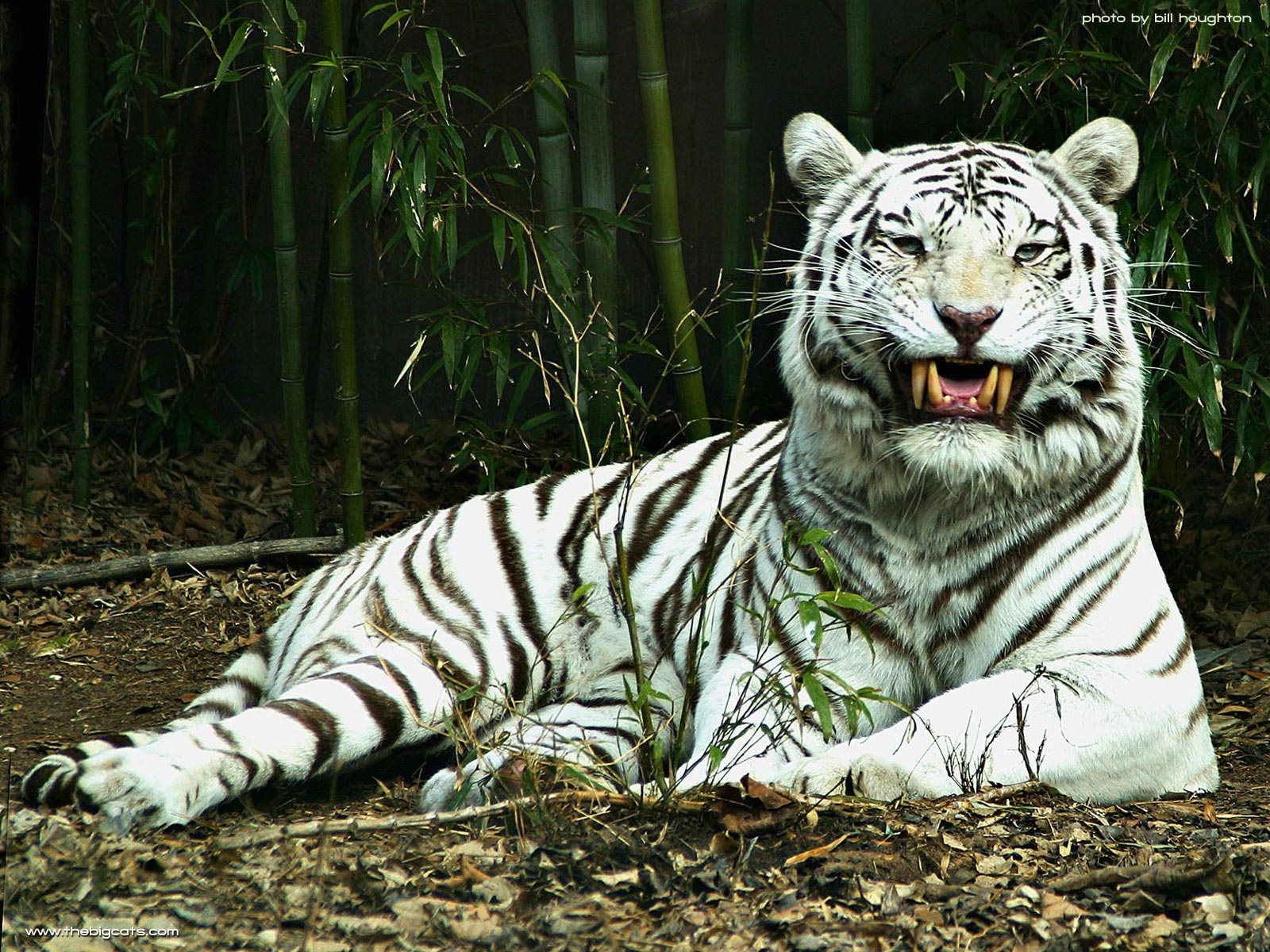 beautiful white tiger wallpaper