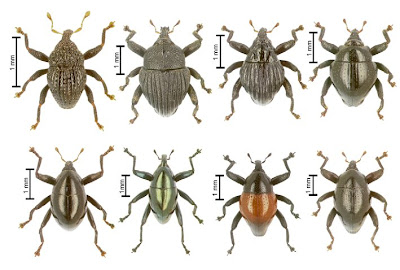 Examples of Trigonopterus weevils