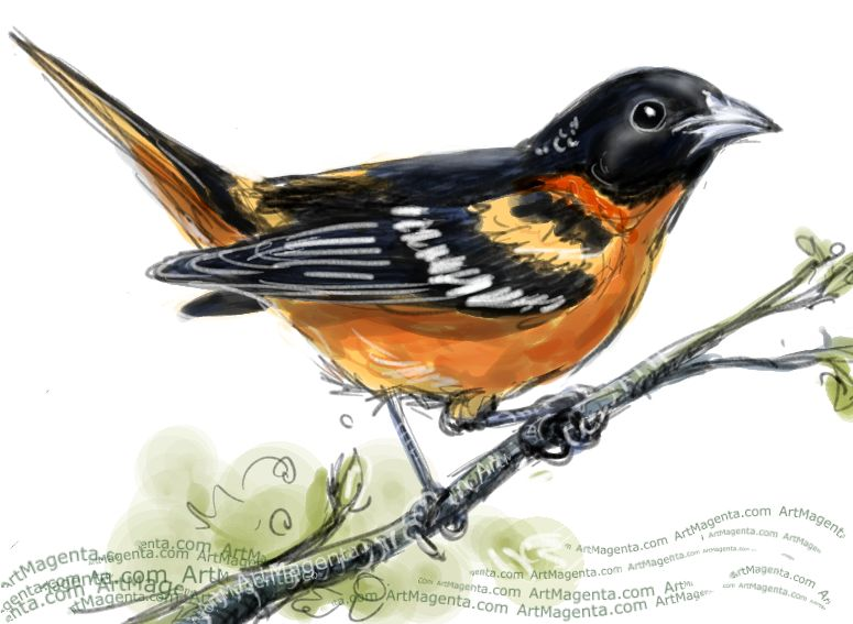 Baltimore Oriole sketch painting. Bird art drawing by illustrator Artmagenta