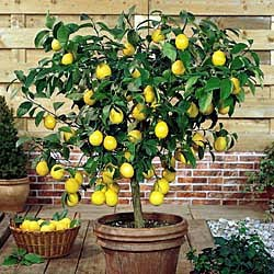 Dwarf Lemon Tree,Best Plants For Your Dorm Room,best Dorm Room Plants