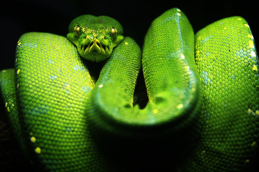 adult green tree python