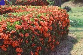 Koleksi Tanaman Hias Landscape Bunga Asoka