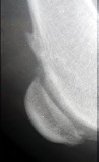 rodilla perro radiologia