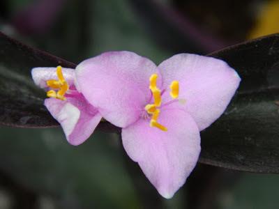 Tradescantia pallida purpurea Purple Heart bloom Allan Gardens Conservatory by garden muses: a Toronto gardening blog