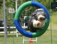 image Sheep Dog jumping through large colourful hoop outdoors -Kawartha Lakes Bennville Pet Resort