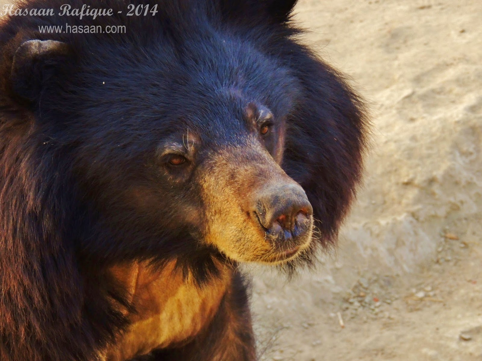 A black bear from up-close.