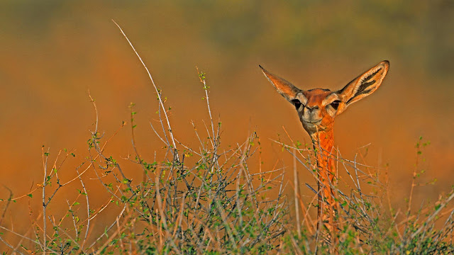 A gerenuk in Samburu National Reserve, Kenya (© Paul Souders/Aurora Photos) 627