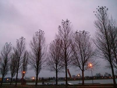 Bomen vol met kraaien, kauwen en roeken in Kardinge