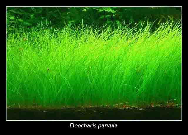 Aquasion Scape Works Eleocharis Sp Parvula Dwarf Hairgrass