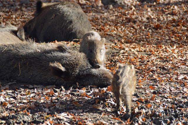 Wildschweine Wisentgehege Springe