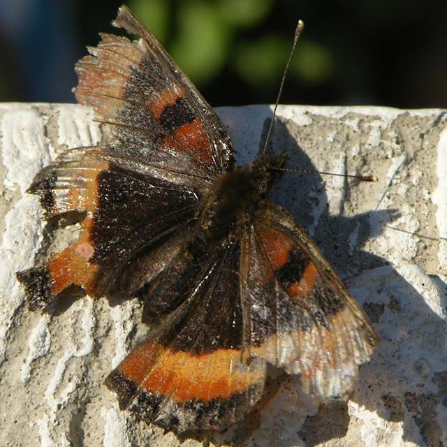 Road worn - slidt og flosset sommerfugl