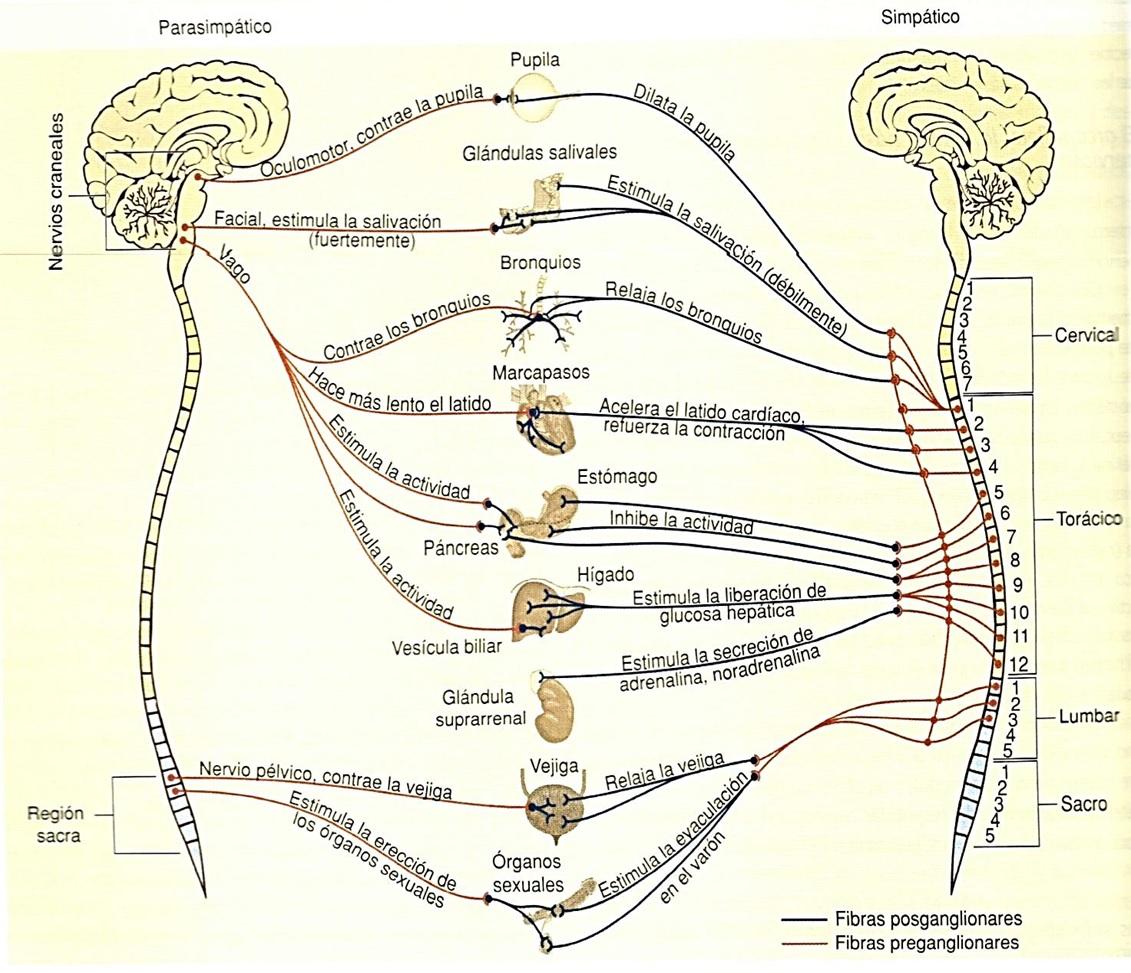 Sistema Nervioso | Biología.