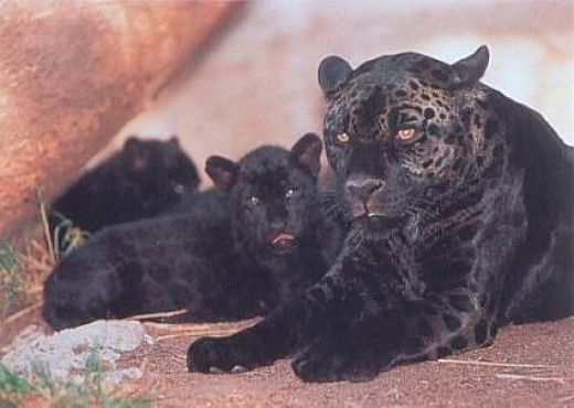 Facts About Large Wild Cats Like Cougars And Panthers