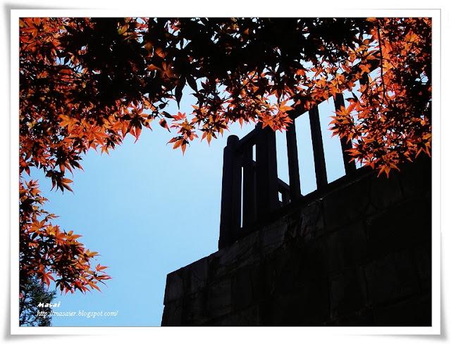 宜蘭太平山國家森林遊樂區-楓葉