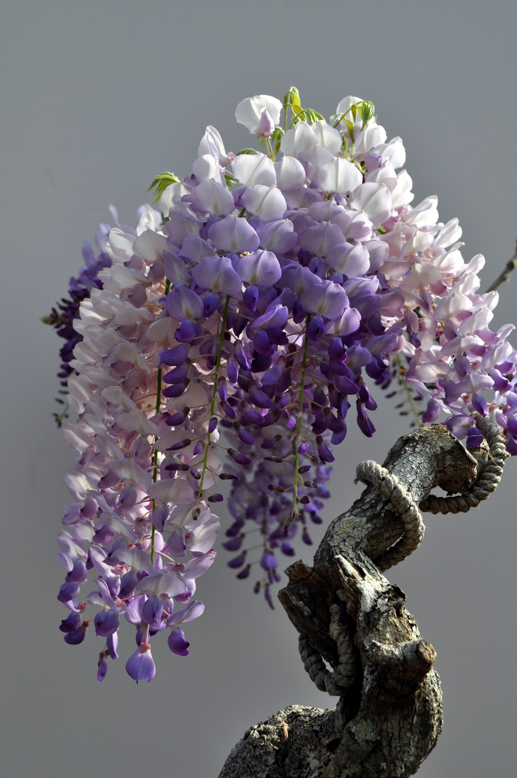 Nebraska Bonsai Society Japanese Wisteria