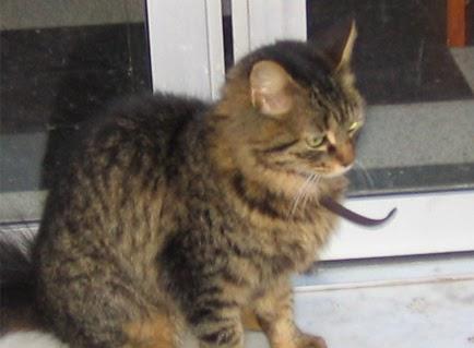 القط توتوش