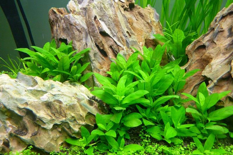 www.vinhaqua.com - Cây rau thơm trong hồ thủy sinh