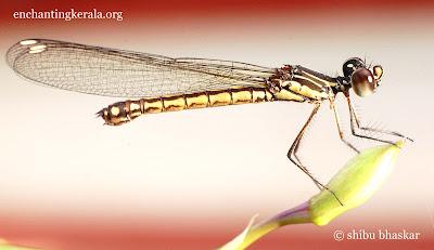 stream ruby female dragonfly