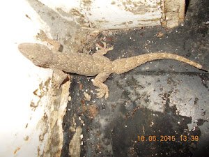 Common house Gecko lizard.A favourite hunting prey of cats.