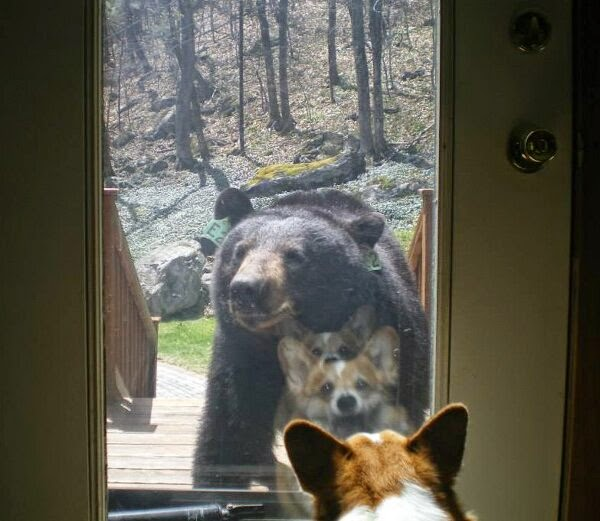 Funny animals of the week - 9 May 2014 (40 pics), cute animals, animal photos, corgi dog meets bear
