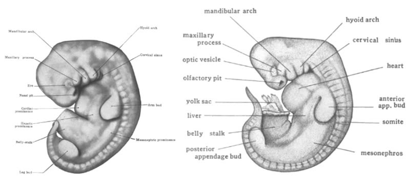 Labeled Embryo Diagram, Labeled, Free Engine Image For ...