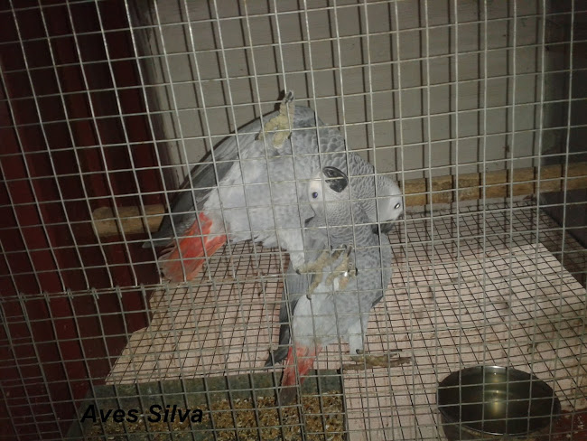 2ª Casal de Papagaios Cinzentos