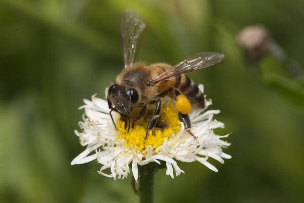 Foto y natura abejas mexicanas for Ahuyentar abejas jardin