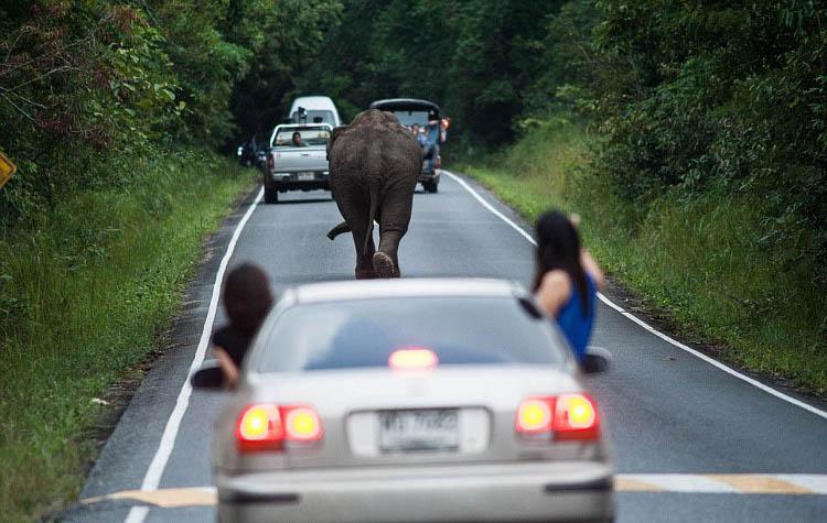 люди фотографируют слона из окон машин